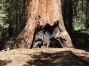 sequoia #4