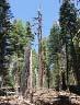 sequoia #5
