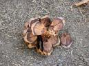 sequoia #6